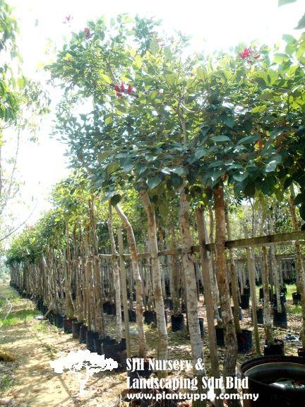 T010901 Erythrina Glauca C Tree Nursery Supplies Whole Plants Plant