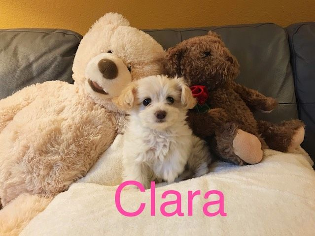 Maltipoo puppy for sale in LOS ANGELES, CA. ADN52163 on
