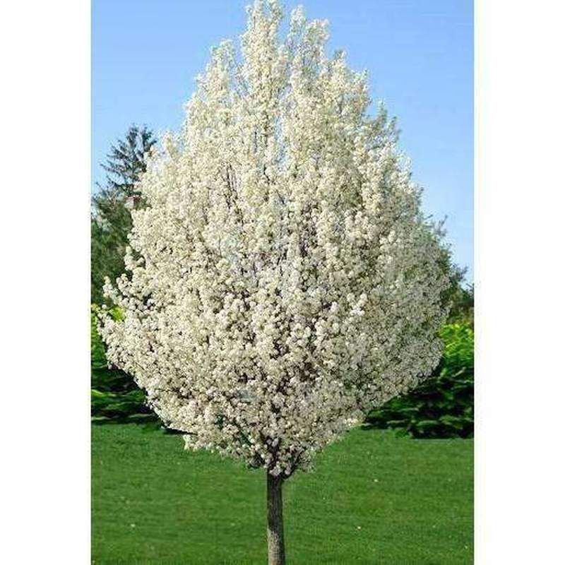 Cleveland Select Amp Bradford Pear Tree Flowering Pear