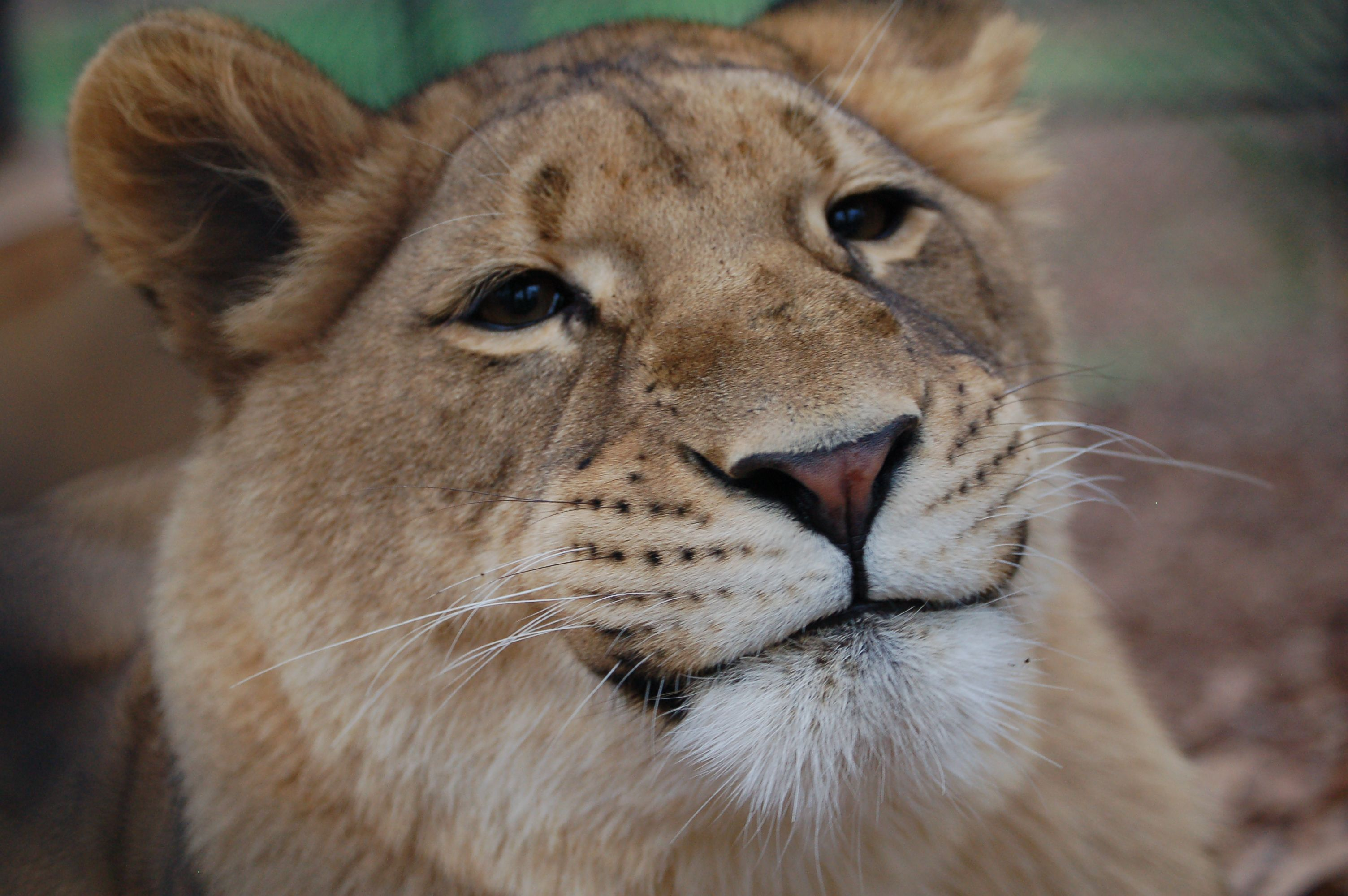 Liberty, our young lioness, is always smiling! #Lion # ...