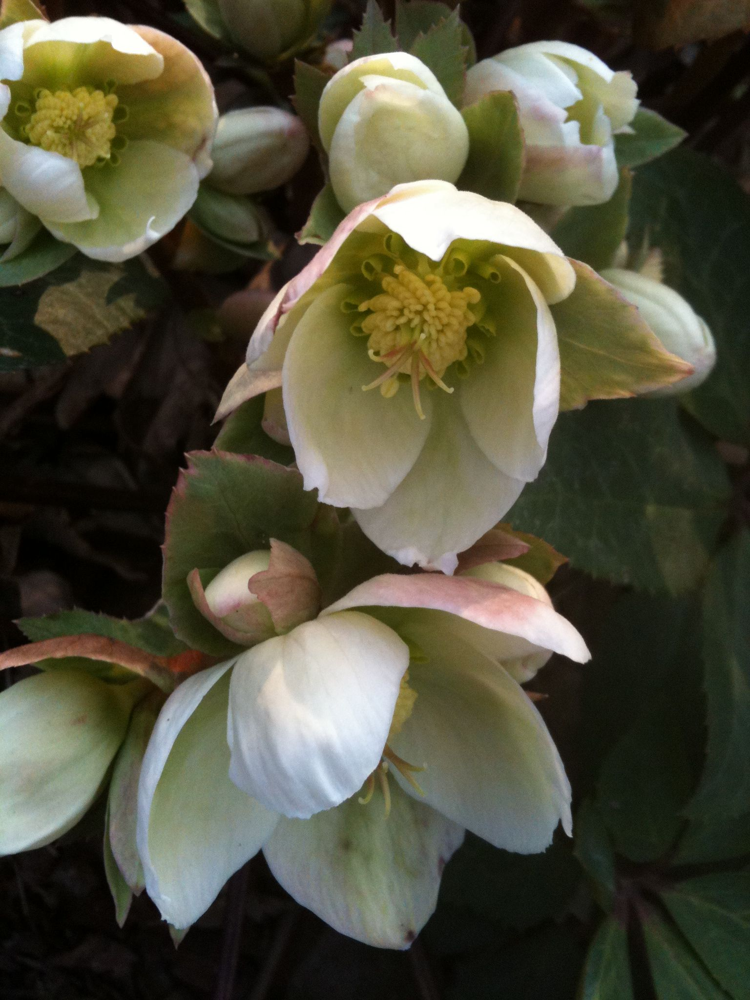 Hellebore Ivory Prince Blooms In Winter To Early Spring Le Jardin