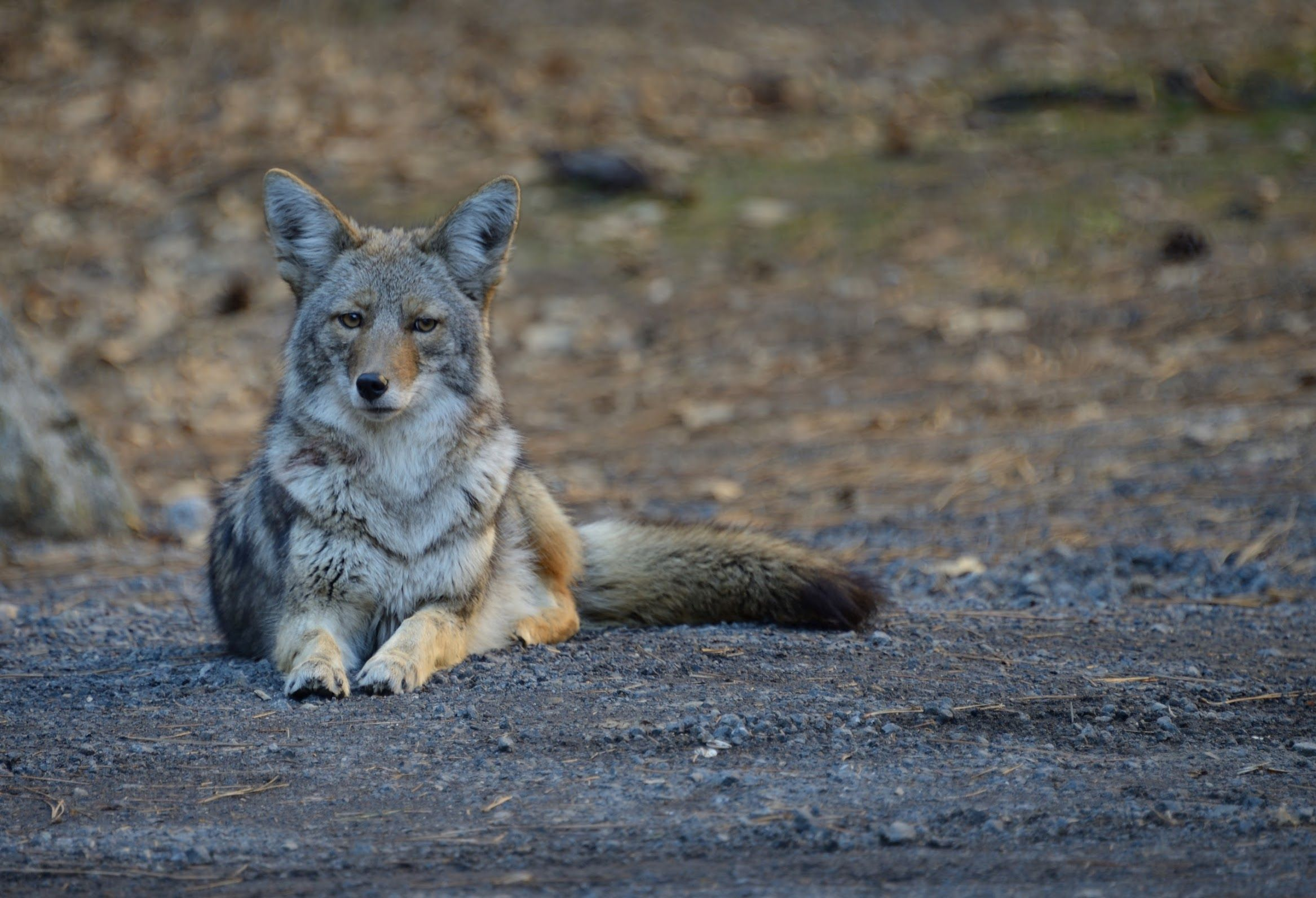 Coyote canis latrans relaxing in yosemite valley