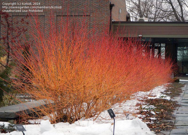Cornus sanguinea 500 seeds Blood Twig Dogwood