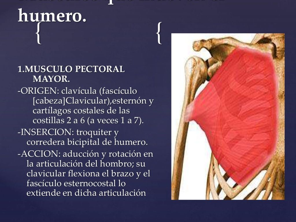 humero. 1.MUSCULO PECTORAL MAYOR. -ORIGEN: clavícula (fascículo ...