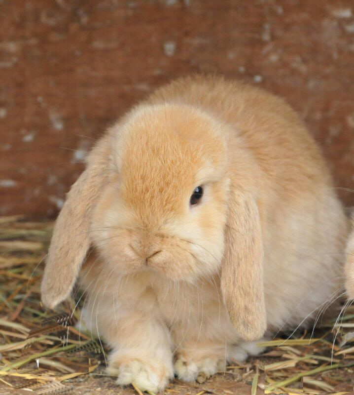 sorry for all the bunnies they 39 re just so darn cute tie ie pinterest mini lop. Black Bedroom Furniture Sets. Home Design Ideas