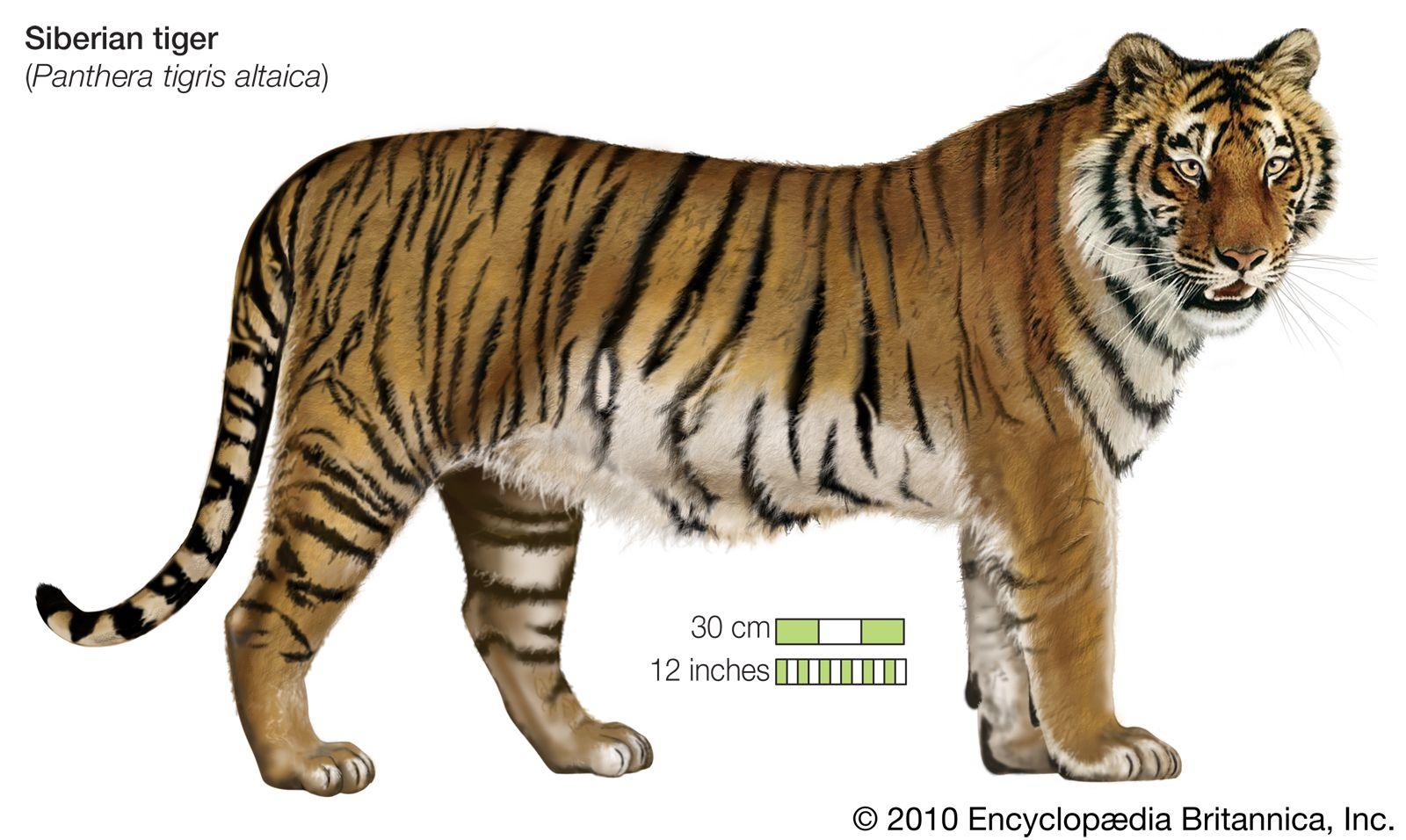 Tiger Tiger Facts Siberian Tiger Wild Tiger