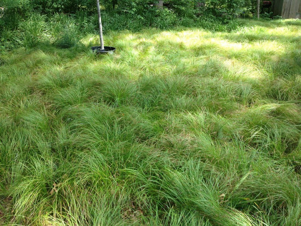 Lawn alternative planted with pennsylvania sedge garden for Planting plans with grasses