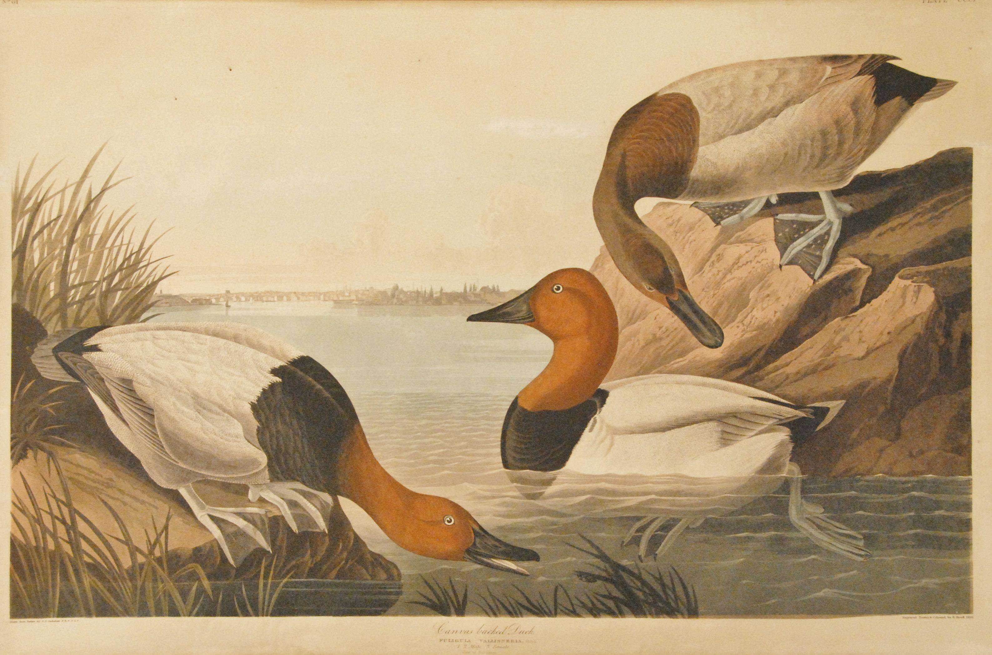 BIRD AUDUBON MALLARD DUCK Painting Canvas art Prints