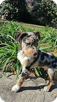 Gordon Adopted Puppy Kerri Allentown Nj Catahoula Leopard