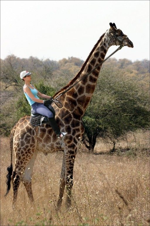 I've seen zebra horse, a cow, a longhorn steer, a mule, a horse