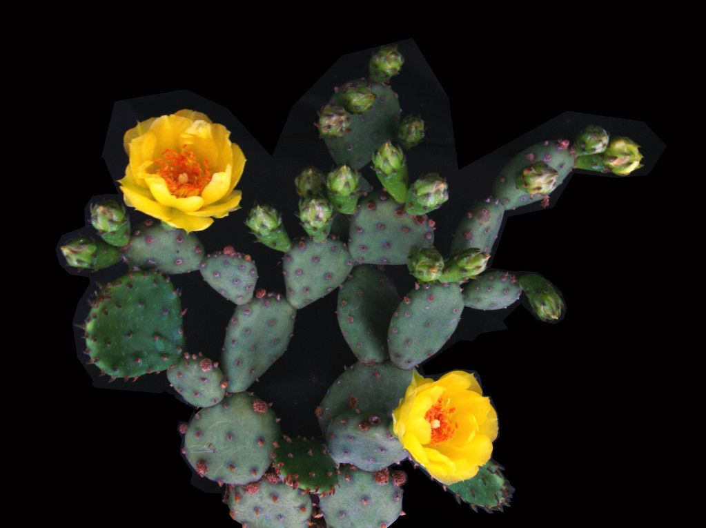 Opuntia humifusa (Rafinesque) Rafinesque 1830 (forma FH