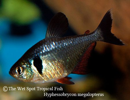 Tetras Black Phantom Tetra Hyphessobrycon Megalopterus Aquarium Fish Tetra Fish Tropical Fish