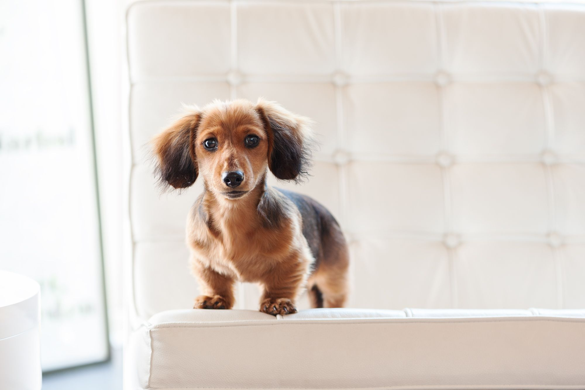 Miniature Long Haired Dachshund Shaded Red Long Haired