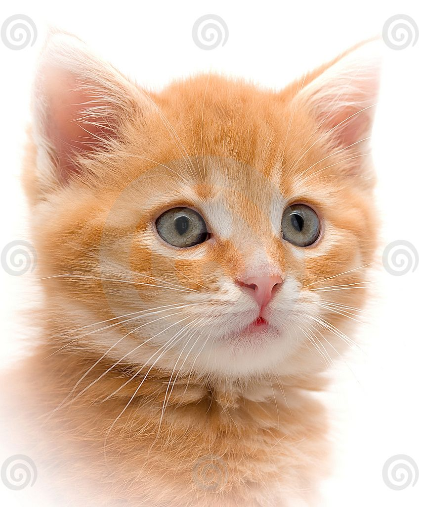 Kitten Young Orange Tabby Kitten With Adorable Big Grey Eyes Staring Right At You By Sters At Dreamstime Kitt Tabby Kitten Orange Tabby Kitten Kittens