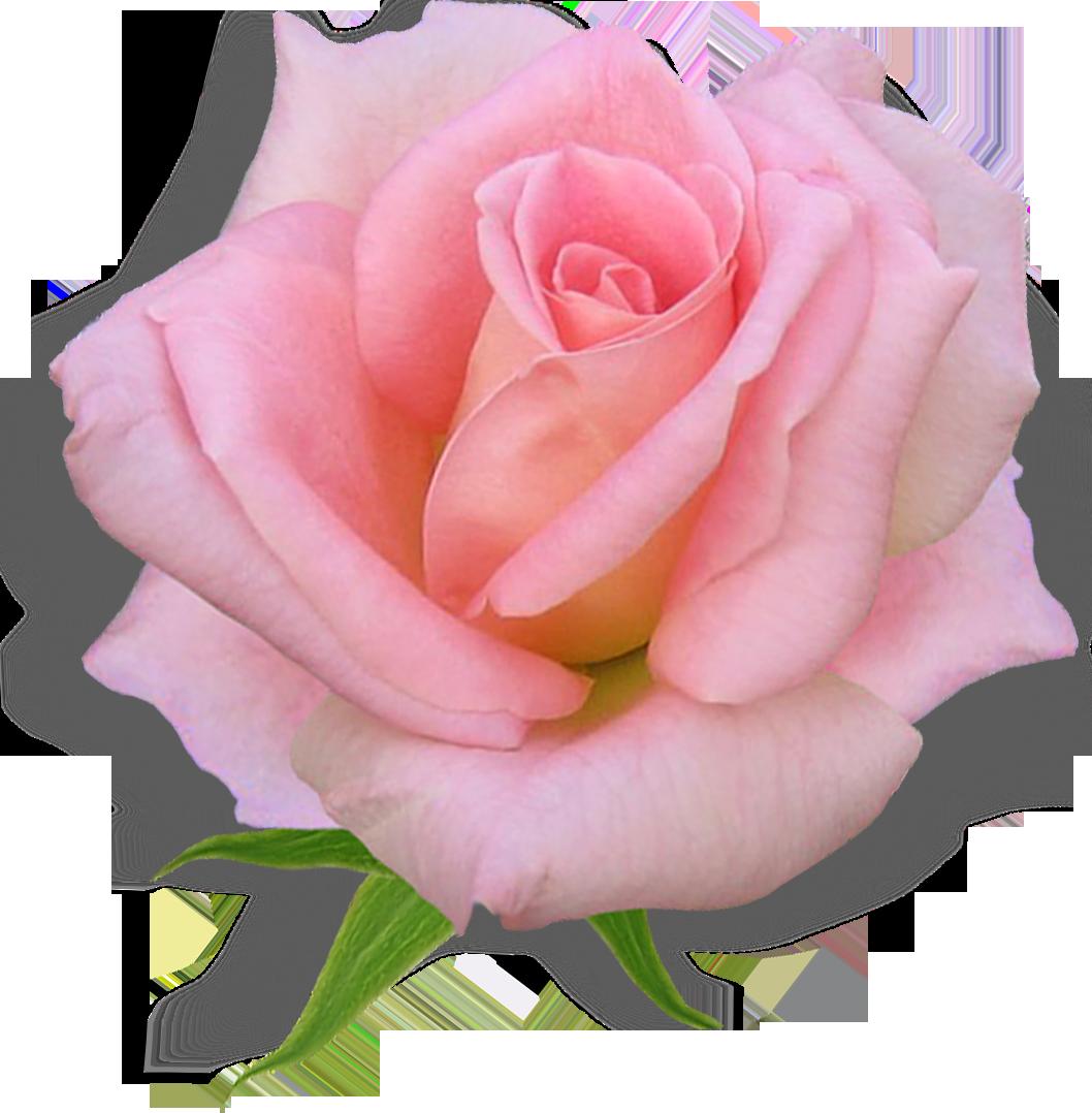 магазинах роза фото в пнг радостных деньков