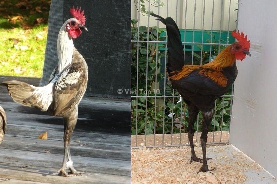 top 15 giống gà kỳ lạ độc đáo nhất trên thế giới - việt top 10 - việt top 10 net - viettop10