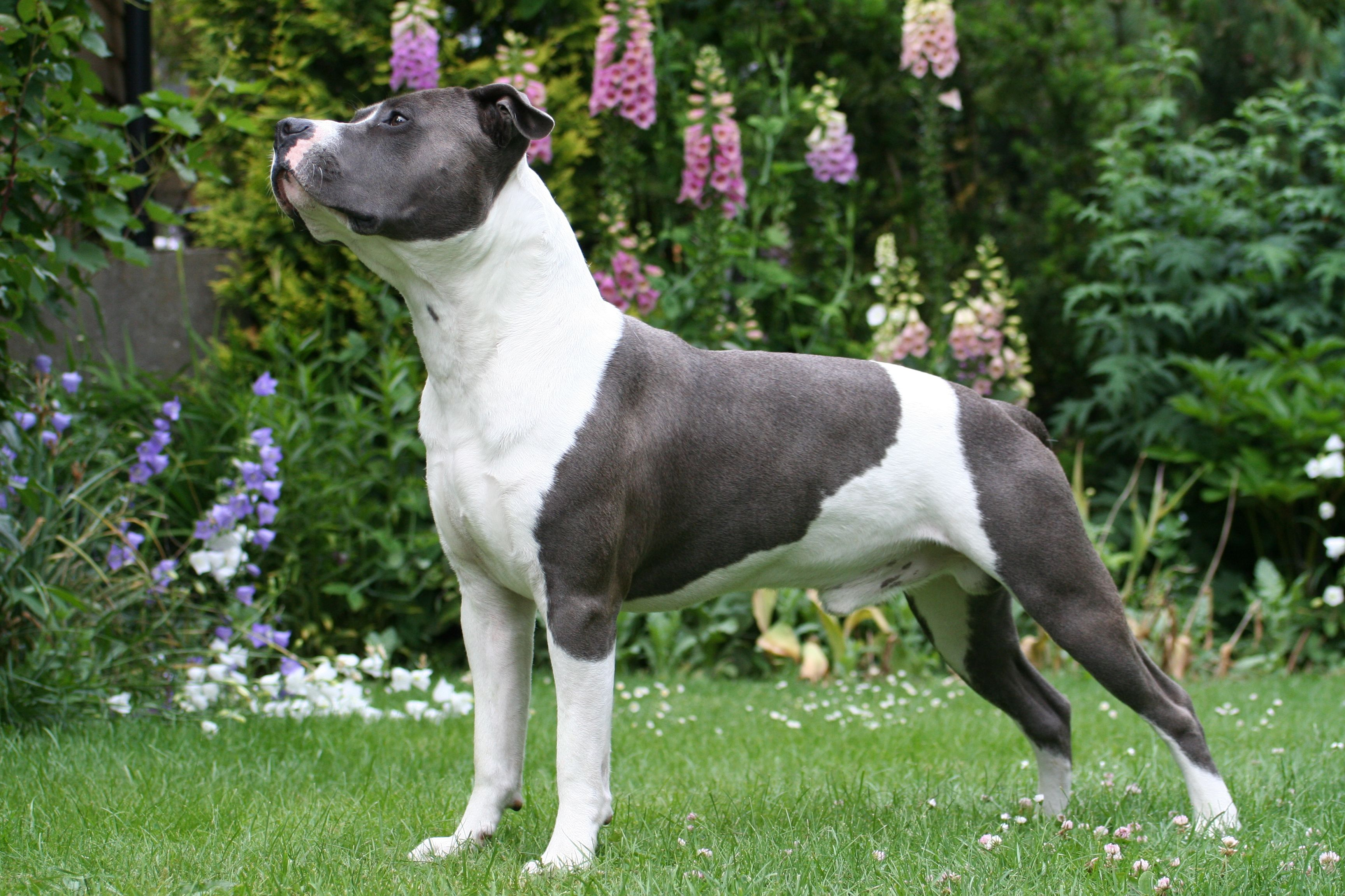 Beautiful Amstaff With Images American Staffordshire Terrier