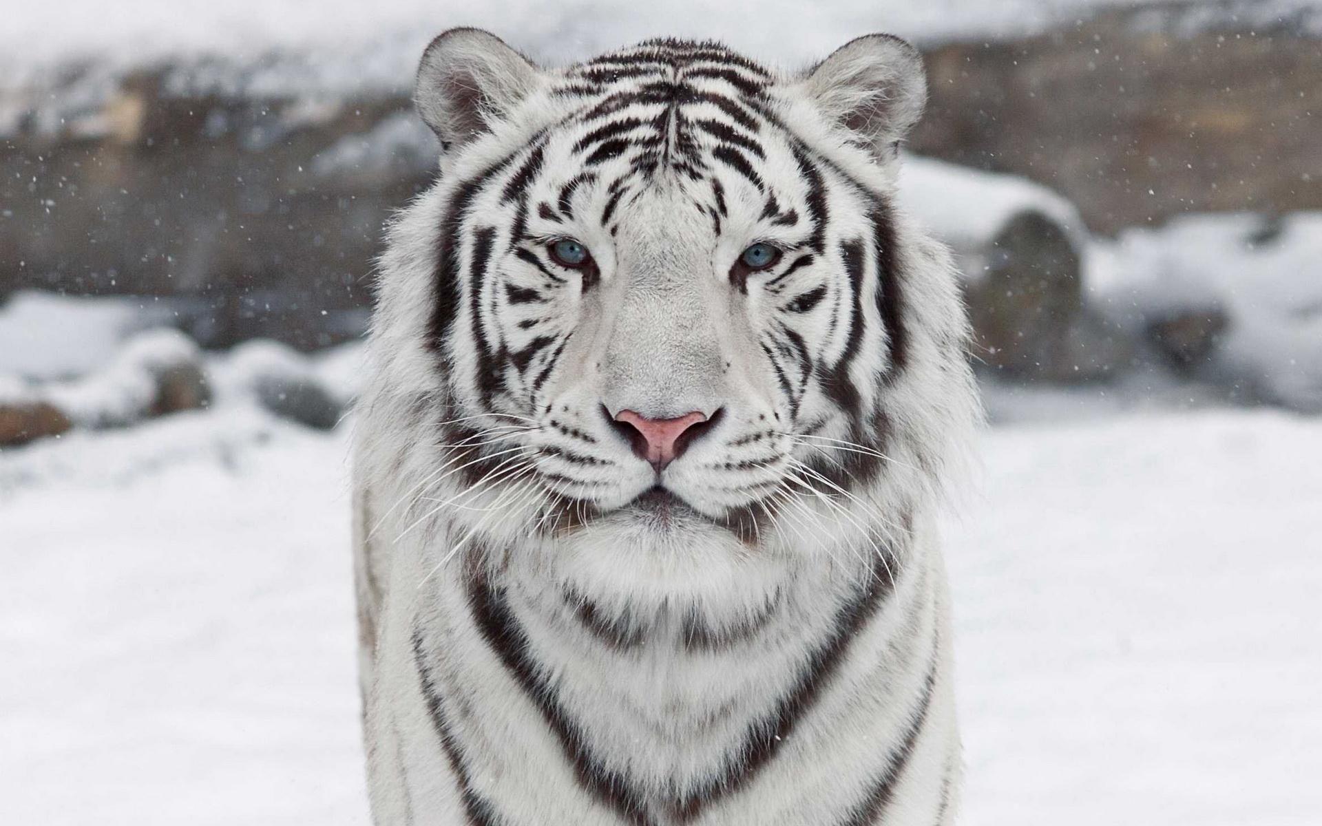 Animaux Tigre Blanc Big Cat Tigre Predator (Animal) Close-up Fond d'écran | Fond d'écran chat ...