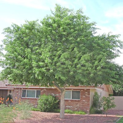Sissoo Tree Super Fast Growing And Tons Of Shade Evergreen