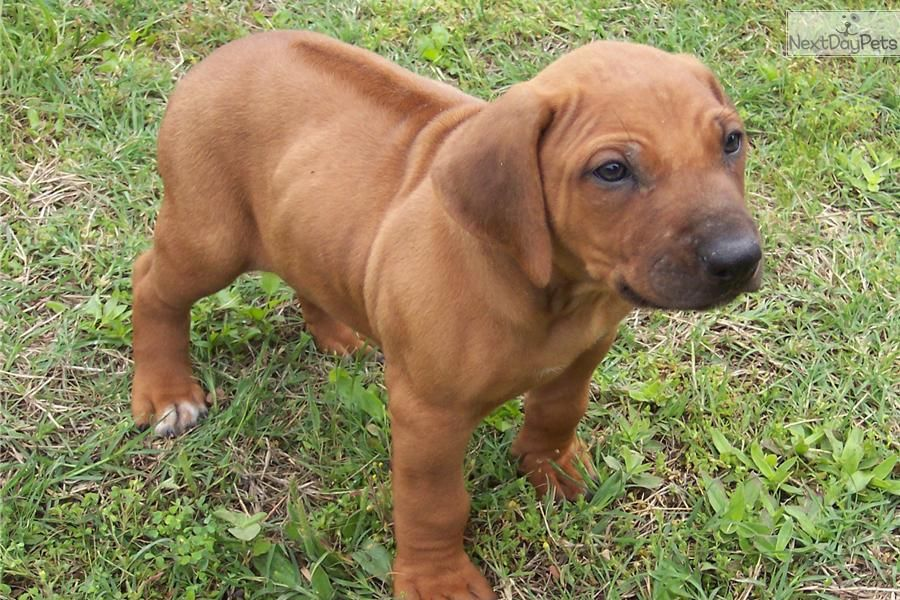 Rhodesian Ridgeback Puppy I Want One So Badly I Would Name Him