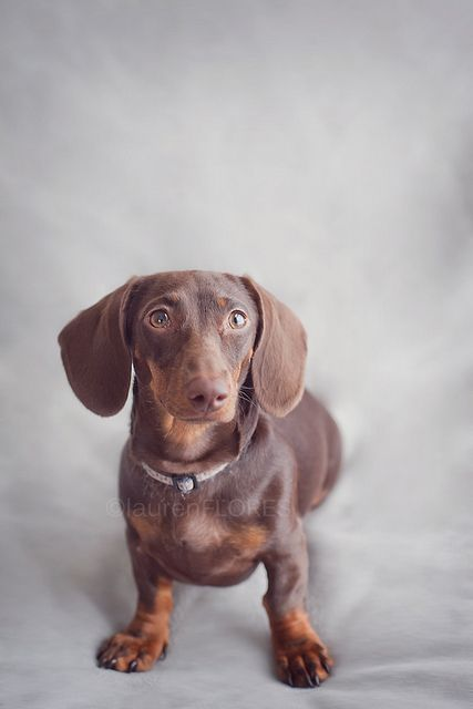 Lavender 6 Months Old Baby Dachshund Cute Little Animals Doxie Puppies