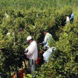 Offerte di lavoro Palermo  Spariscono i due marchi IGT. E un passo importante per proteggere i vitigni autoctoni siciliani  #annuncio #pagato #jobs #Italia #Sicilia Vino Grillo e Nero d'Avola solo doc