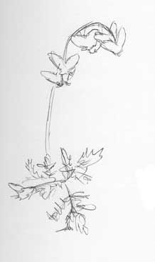 Dutchman S Breeches Flower Line Drawings Wildflower Tattoo Sketching Techniques