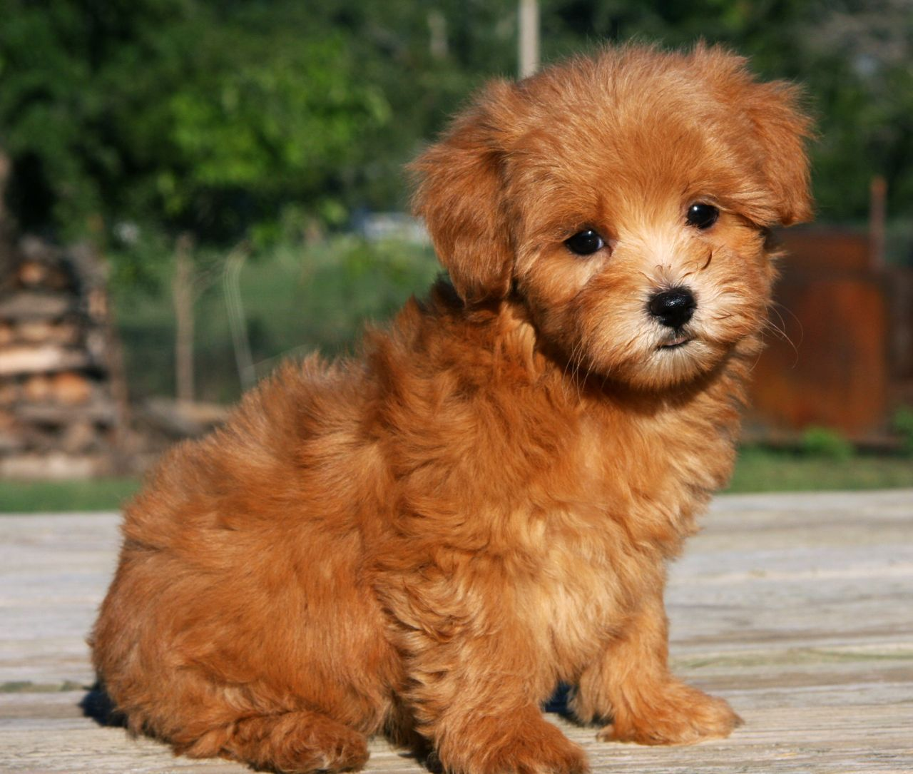 Maltipoo Puppies Thepuppymatchmaker My Little Baby Angel Face Named Penny Would Love It