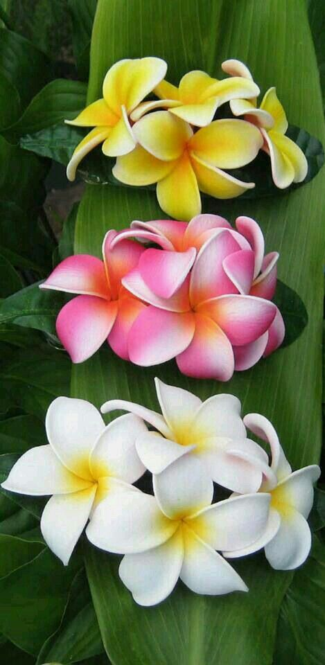 Pin by leslie kolkmann on hawaii pinterest flowers plants and as christians must show our true colour mightylinksfo