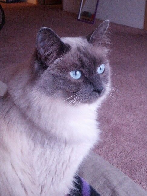 Long Haired Lilac Point Siamese Hairless Cat Long Haired Cats Cat Toys