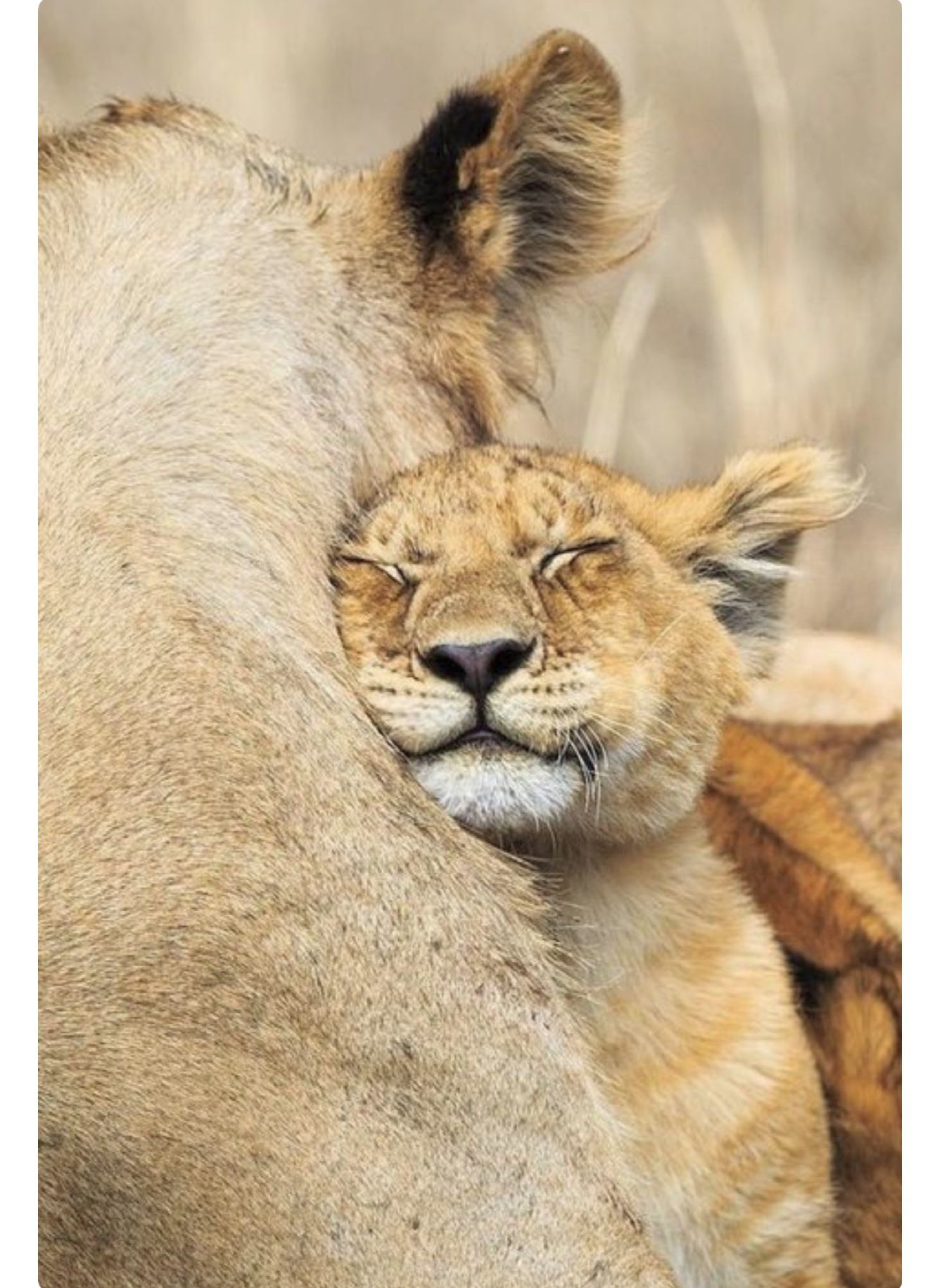 Lion Cub Presses Close To Mom Safety, Warmth And Love