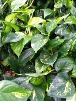 Caring For Pothos Devils Ivy Quot Philodendron Quot Epipremum