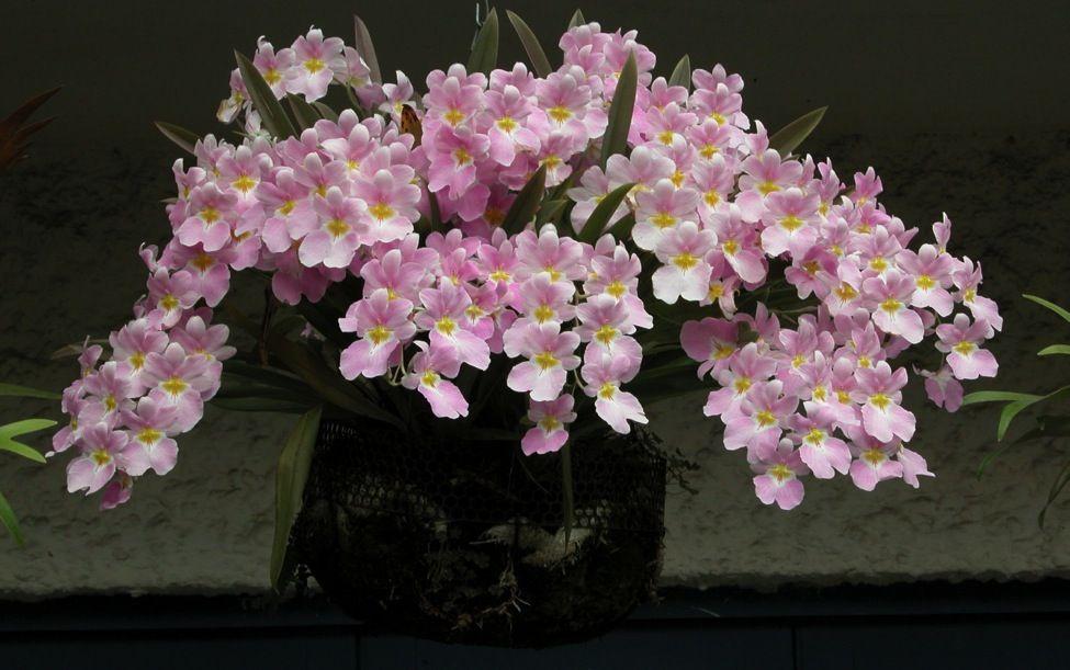Sociedad Colombiana De Orquideologia Miltoniopsis Flores De Colombia Flor Del Mundo Flores