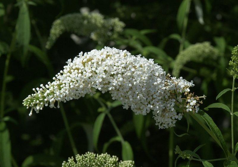 Sommerflieder White Profusion Für Den Garten Ein Wahrer