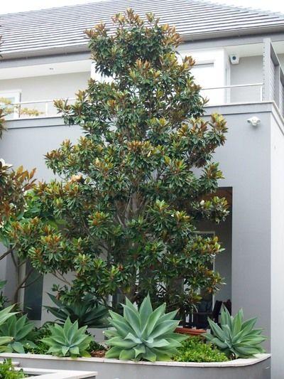Magnolia Grandiflora Little Gem Front Yard Garden Design Front Yard Landscaping Design Magnolia Tree Landscaping