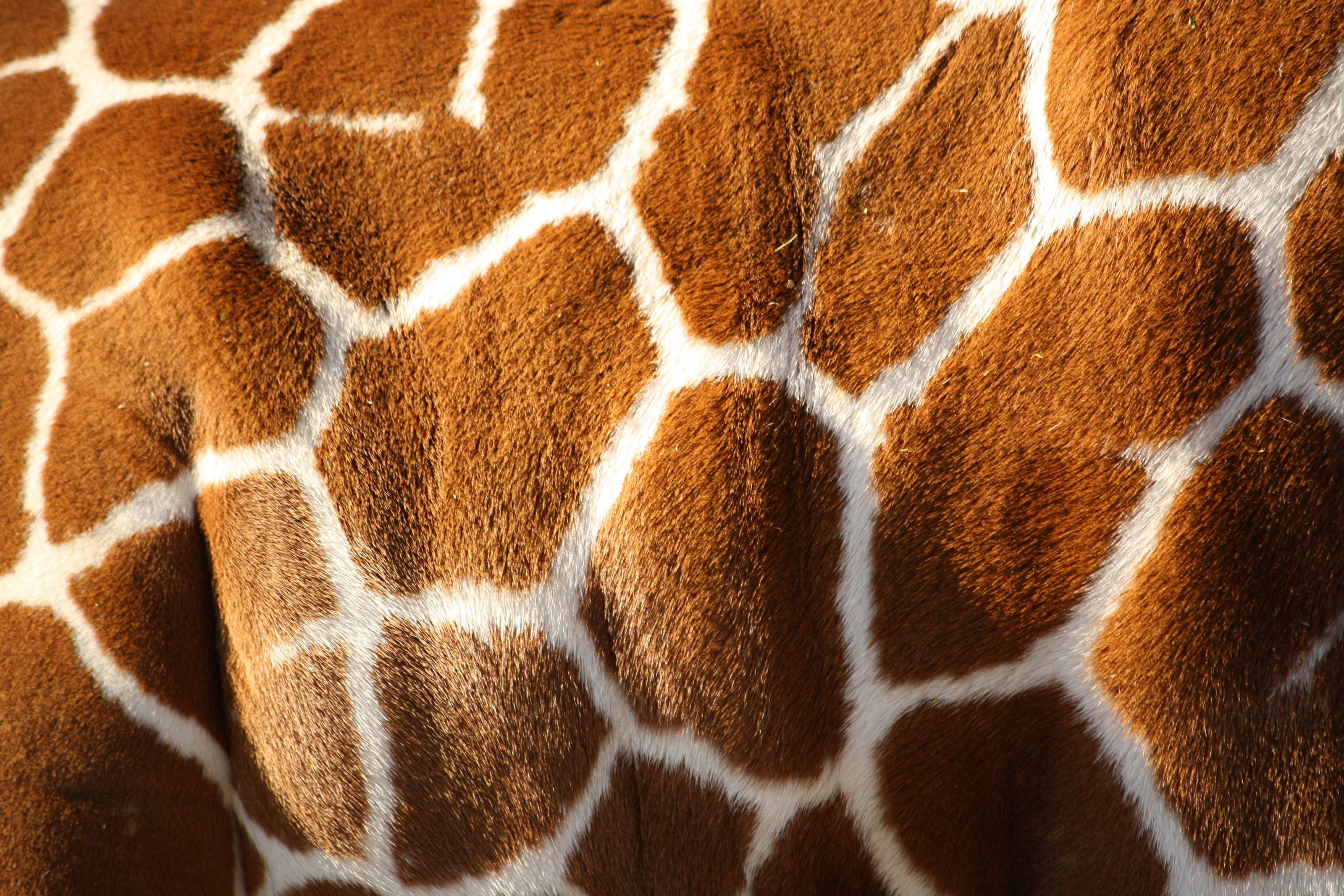 Giraffe Print To Download Wallpapers Just Right Click On