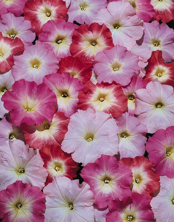 1000 Pelleted Petunia Seeds Celebrity Morn Mix Etsy Petunias Seeds Flower Seeds