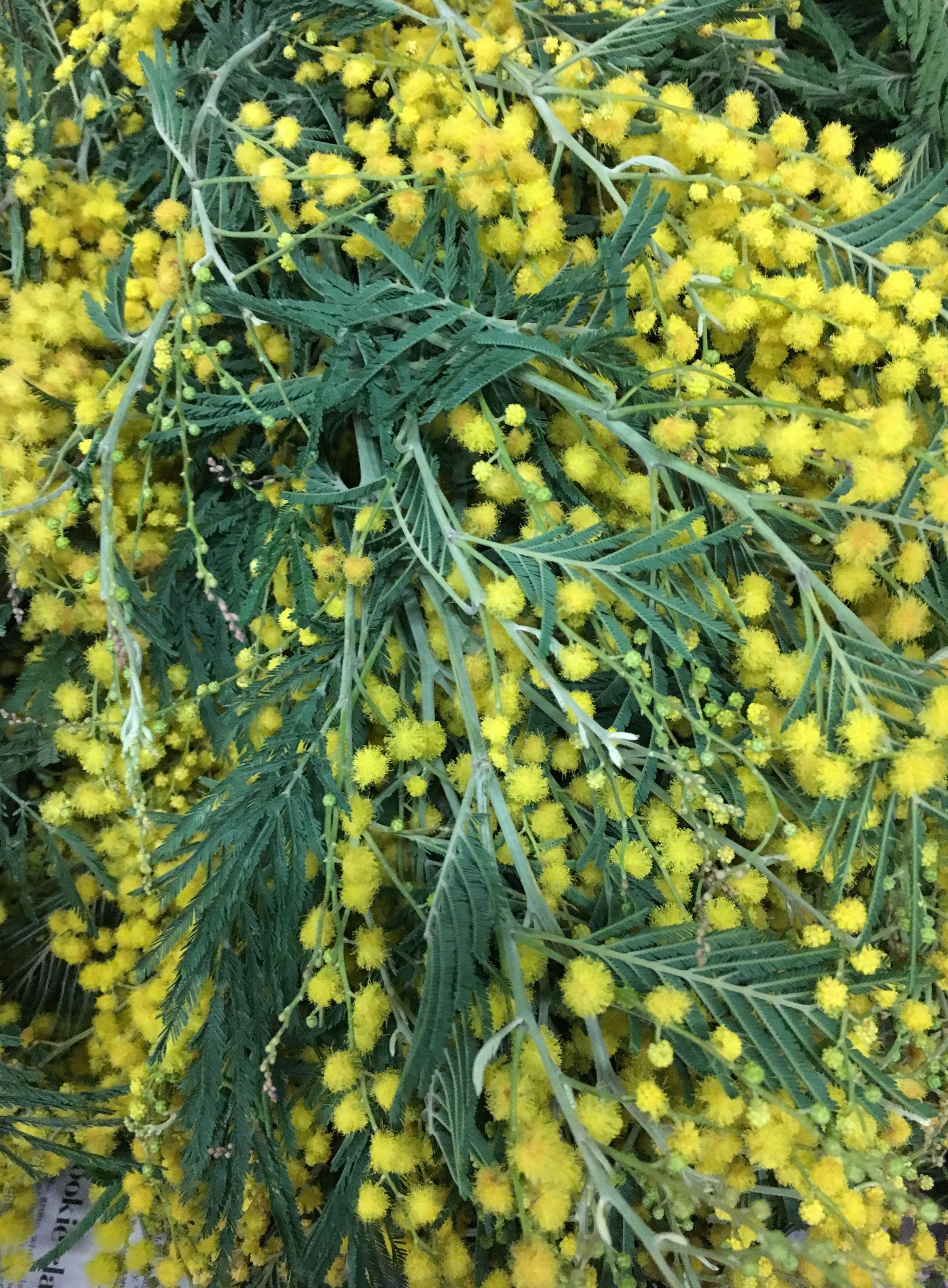 Soft Yellow California Acacia Plant Leaves Green Flowers Florist Supplies