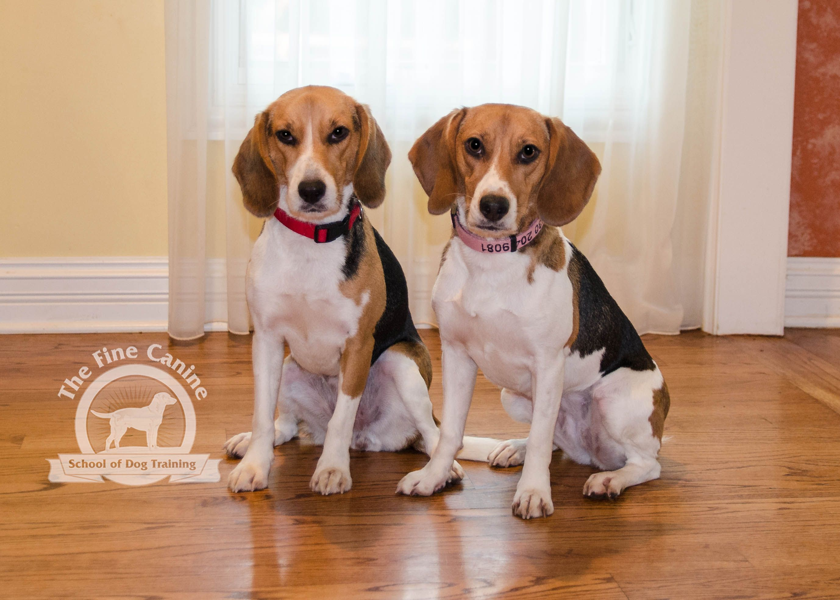 Indy And Tana The 2 Year Old Beagles Beagle Beagle Beagle