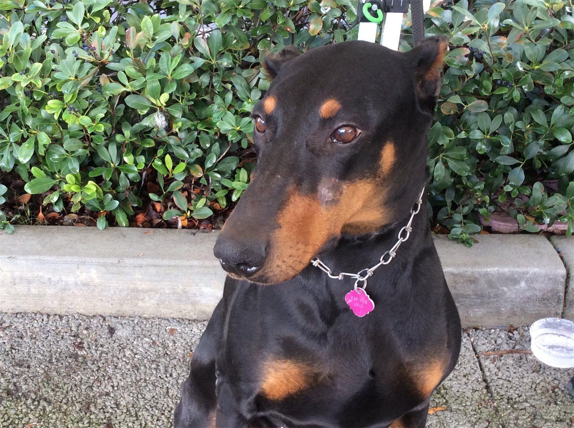 Doberman Pinscher Dog For Adoption In Pomona Ca Adn 433175 On