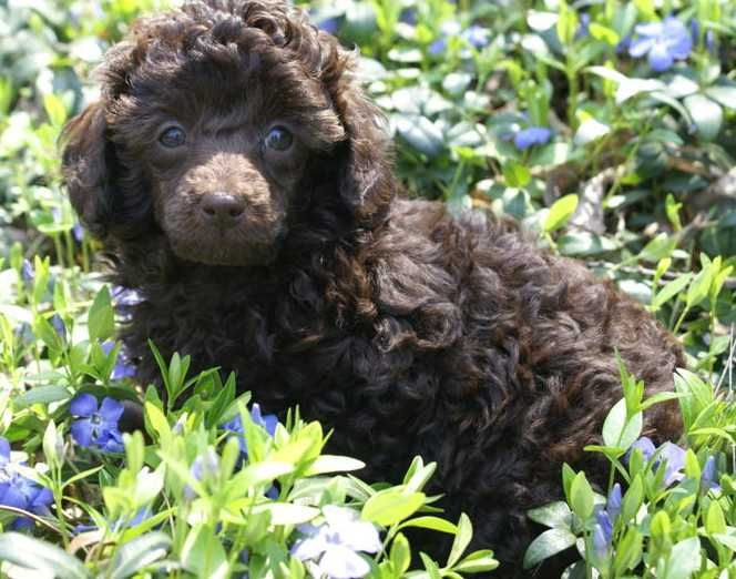 I Will Have A Chocolate Toy Poodle Someday Cute Animals