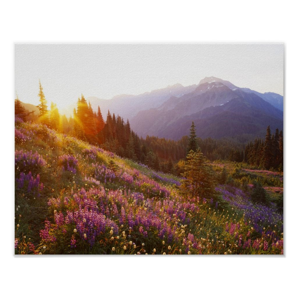 Park City Magic Carpet: Field Of Lupine And Olympic Mountains At Poster