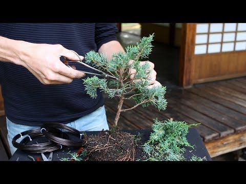 Tremendous Bonsai Tutorials For Beginners Shortening A Nursery Plant To Wiring 101 Cajosaxxcnl