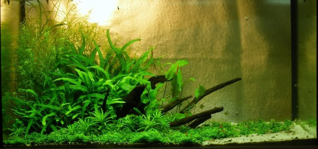 Aquascaping: Arranging Your Plants