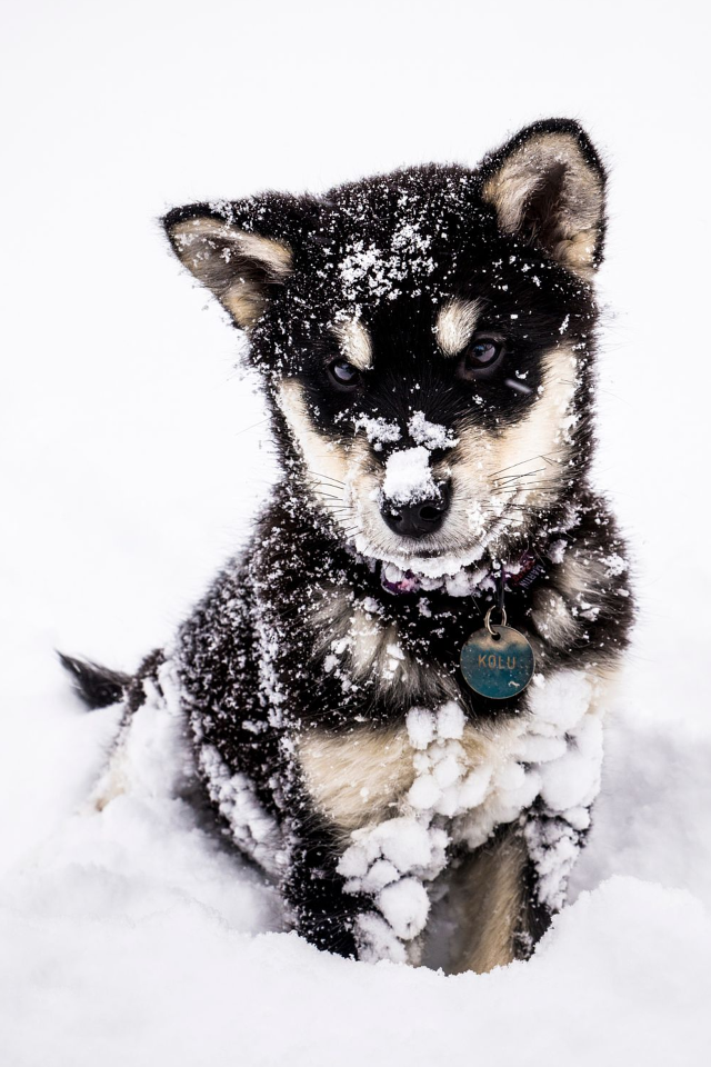 Wolf pup in the snow
