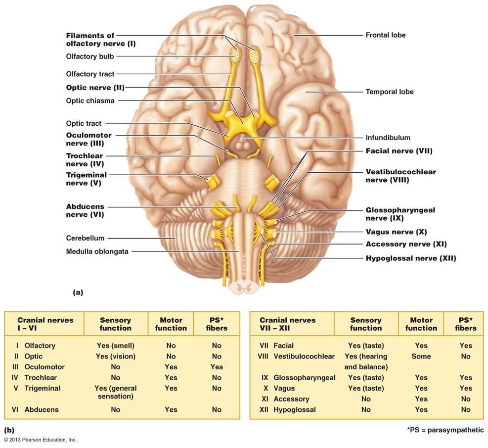 Nerves of the body spinal and cranial google search nursing explore nerves of the body and more ccuart Choice Image