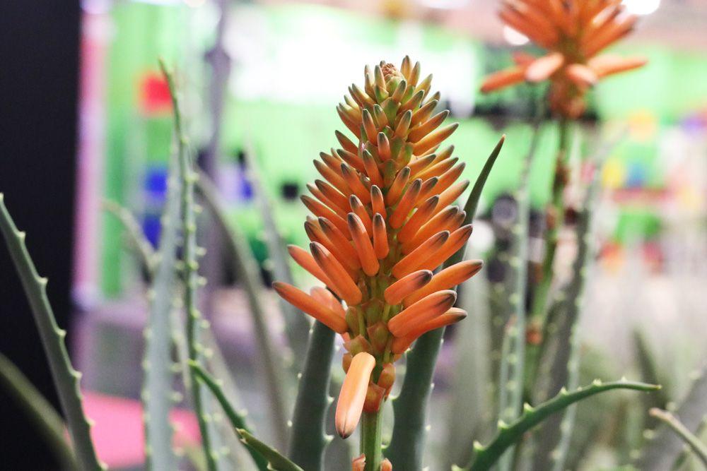 Baum Aloe Aloe Arborescens Pflege Und Vermehren Gartenlexikon De Pflanzen Umpflanzen Heilpflanzen
