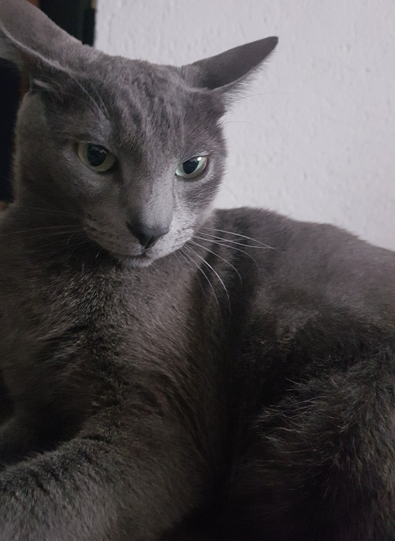 Pin By Anna Blackthorn On My Russian Blue Russian Grey Cat Russian Blue Grey Cats