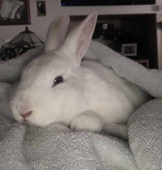 Update on 2nd white rabbit on my hill: hes been caught (he has testicles lol). Super sweet bun...looks like Ill be adopting another bunny! Lord have mercy! Heres to hoping this is the last one I find on my hill and no more bunnies are displaced. - #rabbits #bunny #rabbitlove #bunnylove #rabbithouses #rabbithouses