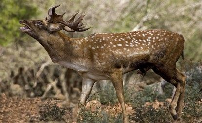 Deuteronomy 14:5 Persian Fallow Deer included in the list of animals permitted to the Israelites for food.
